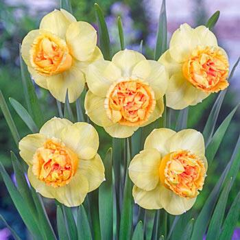 Art Perfume Daffodil
