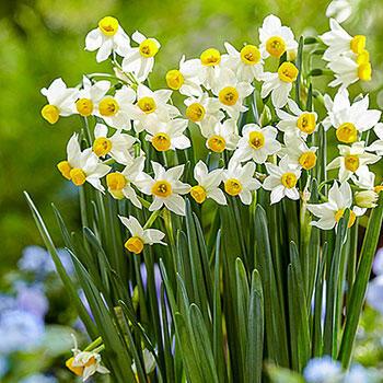 Canaliculatus Daffodil