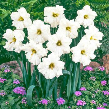Colblanc Daffodil