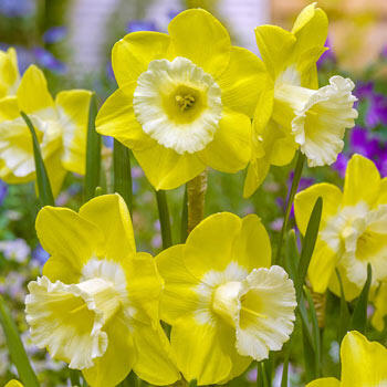 Intrigue Daffodil