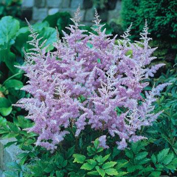 Lavender Astilbe