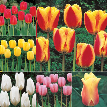 Wow!<sup>®</sup> Deluxe Perennial Tulip Collection