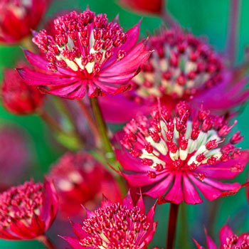 Ruby Wedding Astrantia