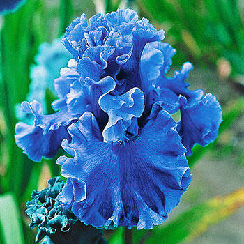 Sea Power Iris