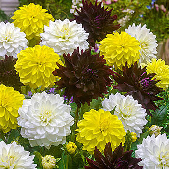City Chic Dahlia Mixture