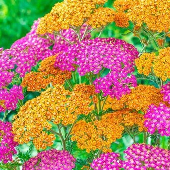 Tangy Taffy Rainbow™ Yarrow Mixture