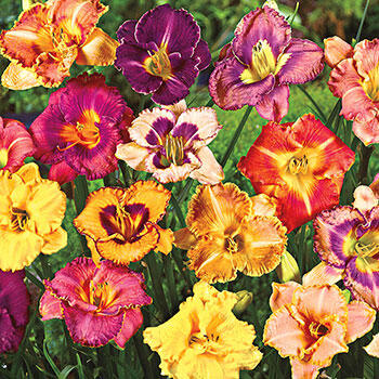 Fancy Face Reblooming Daylily Mixture