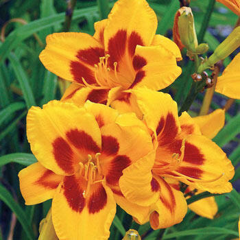 Black-Eyed Susan Reblooming Daylily