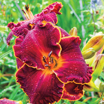 Naughty Red Reblooming Daylily