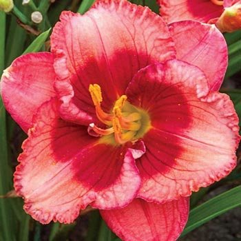 Baby Red Eyes Reblooming Daylily
