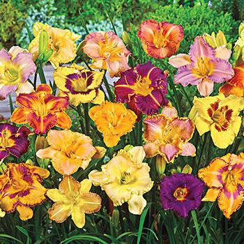 Daylily Lovers Blend