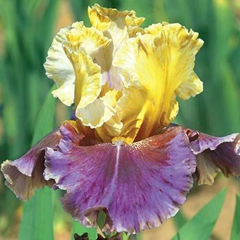 Final Episode Reblooming Bearded Iris