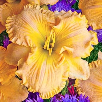 Collier Reblooming Daylily
