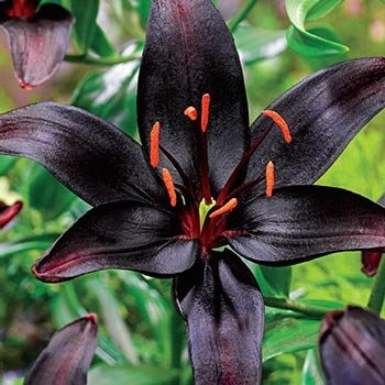 Black Wizard<sup>™</sup>  Lily