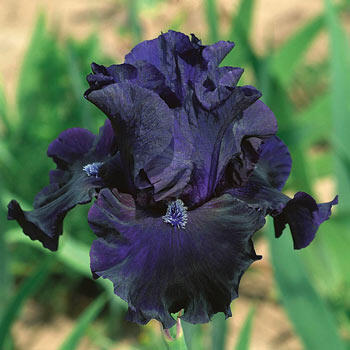 Obsidian Iris