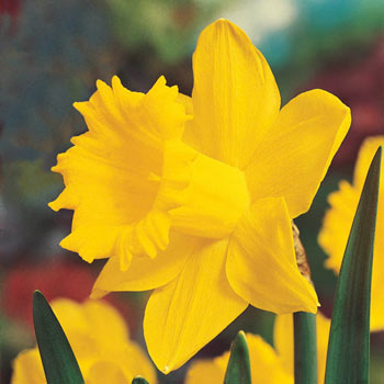 Breck's® Colossal™ Daffodil