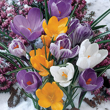 Mixed Crocus Super Sak<sup>®</sup>