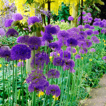 Persian Blue<sup>™</sup> Allium