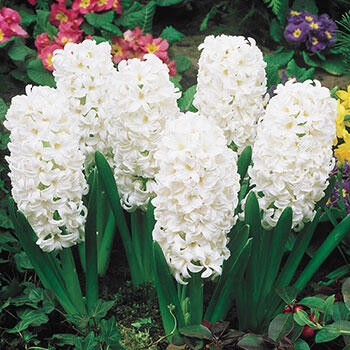Carnegie Giant Fragrant Hyacinth