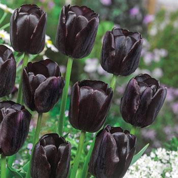 Queen of Night Tulip