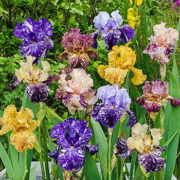 Zebra Iris Mixture