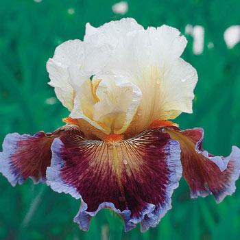 Care to Dance Bearded Iris