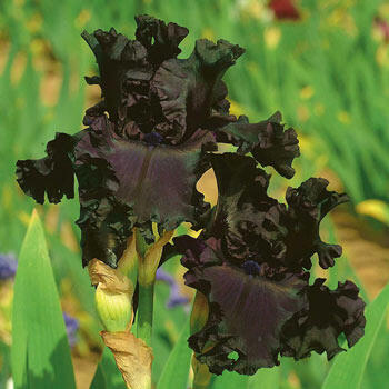 All Night Long Bearded Iris