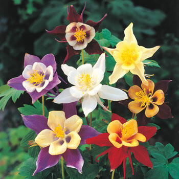 Giant Columbine Mixture