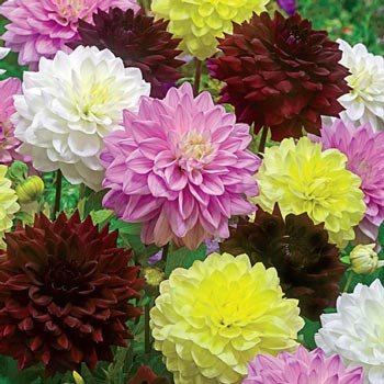 Summer Symphony™ Dinnerplate Dahlia Mixture