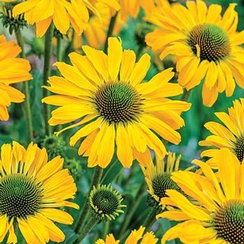 Yellow Passion Coneflower
