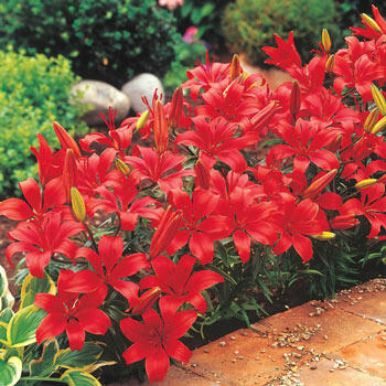 Red Carpet Border Lilies<sup>™</sup>