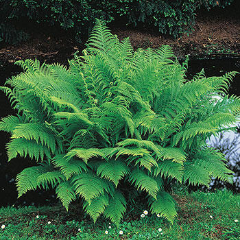 Lady Hardy Fern