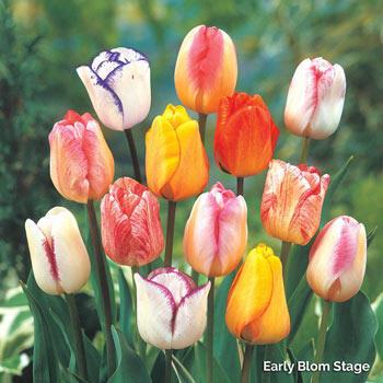 Colour Magic<sup>™</sup> Tulip Mixture