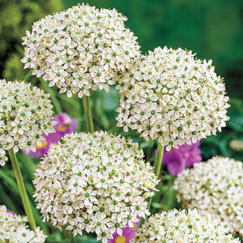 Jade Eyes Allium