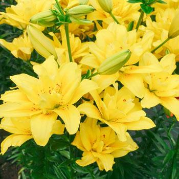 Fata Morgana Asiatic Lily