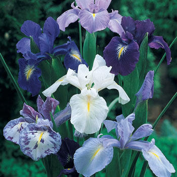 Cool Shades Dutch Iris Mixture