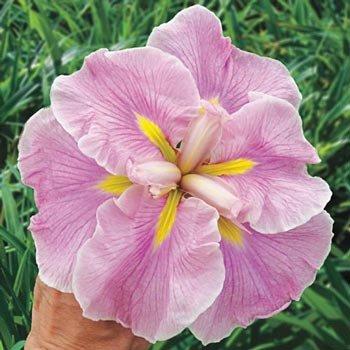 Rose Prelude Japanese Iris