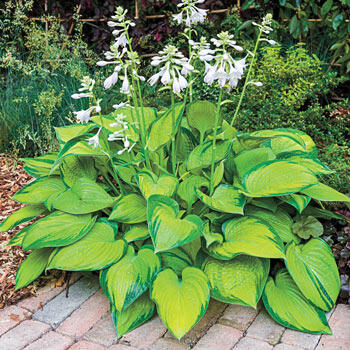 Buy Shade Perennials For Zone 3 Gardens Brecks