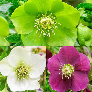 Single-Flowered Tricolor WOW!® Hellebore Collection