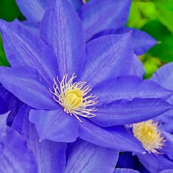 H.F.Young Clematis Vine
