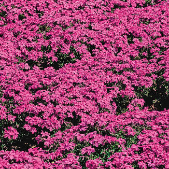 Red Wing Carpet Phlox