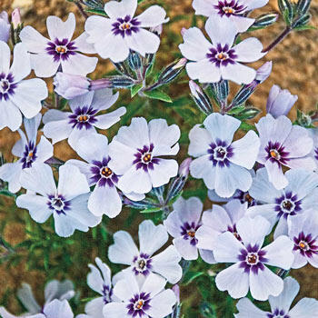 North Hills Carpet Phlox
