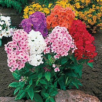Tall Phlox Mixture Super Sak®