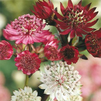 Astrantia Mixture