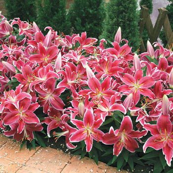 Starlight Magic Oriental Carpet Border Lily™