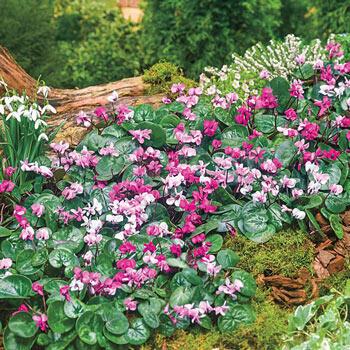 6 Months of Flowering Cyclamen