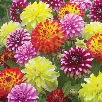 Sun Splashed Dahlia™ Mixture