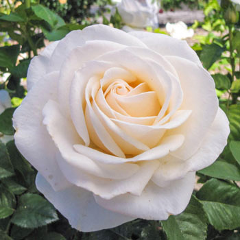 Easy Spirit™ Floribunda Rose