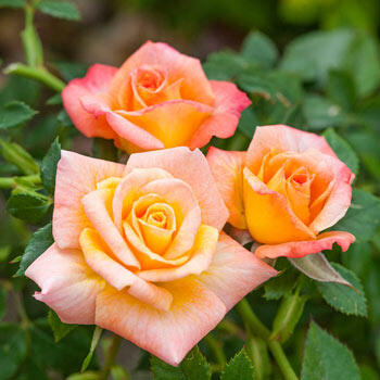 Cutie Pie™ Miniature Patio Rose