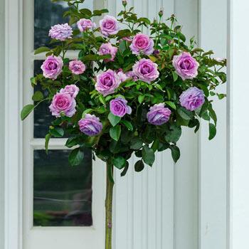 "Violet's Pride 24"" Patio Tree Rose"